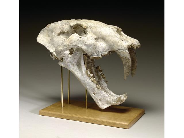 Saber Toothed Cat Skull