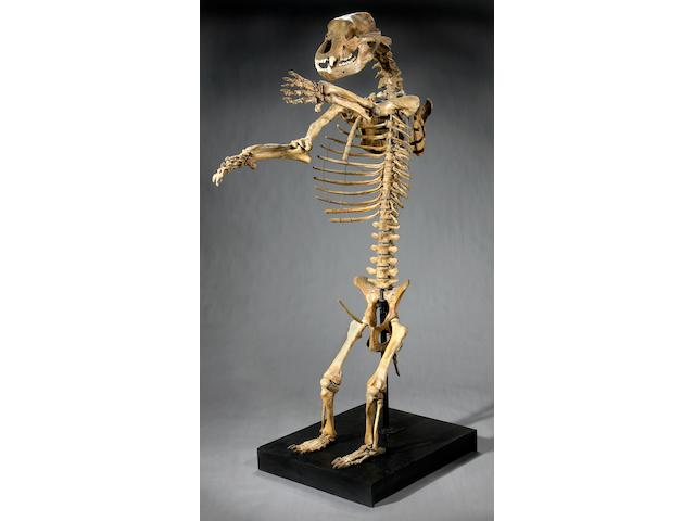 Historically Important Cave Bear Skeleton