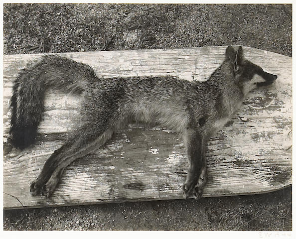 Edward Weston; Dead Fox;