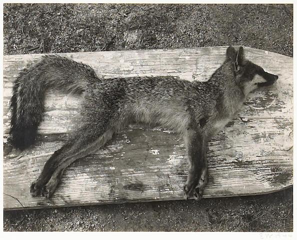Edward Weston; Dead Fox;