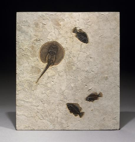 Stingray (Asterotrygon maloneyi) with Priscacara Mural.