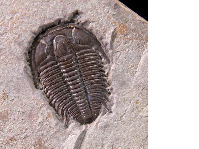 Medocia typicalis (Utah).