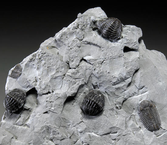 Trilobite Grouping on Block
