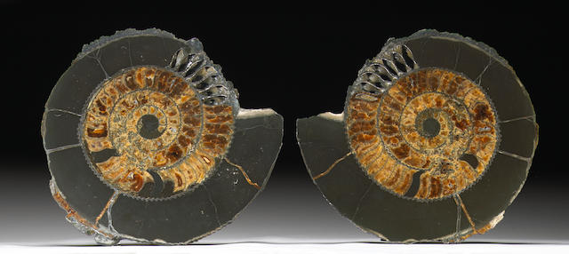 Russian Ammonite Pair