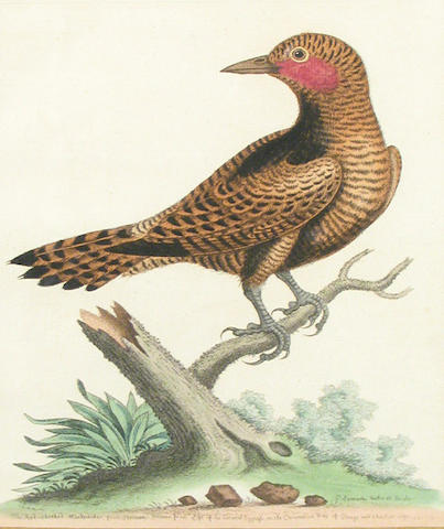 After George Edwards; Ornithological Studies; (7)