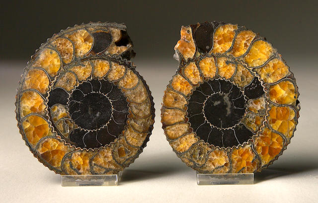 Small Cut Pair of Ammonites