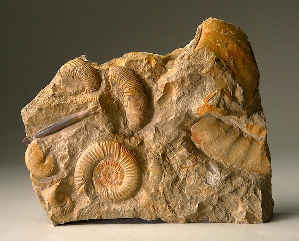 Belemnite with Ammonites