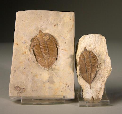 Two Huntonia Trilobites