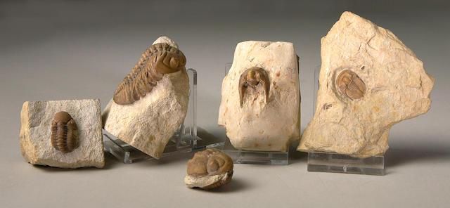 Various Oklahoma Trilobites