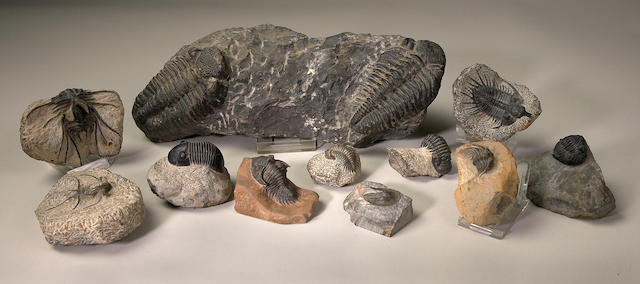 Morrocan Trilobite Group