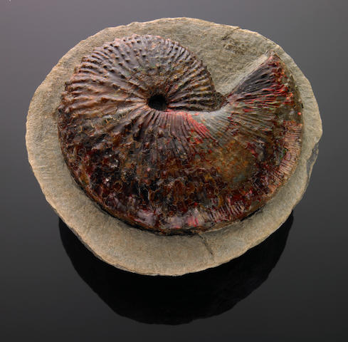 Ammonite in Nodule