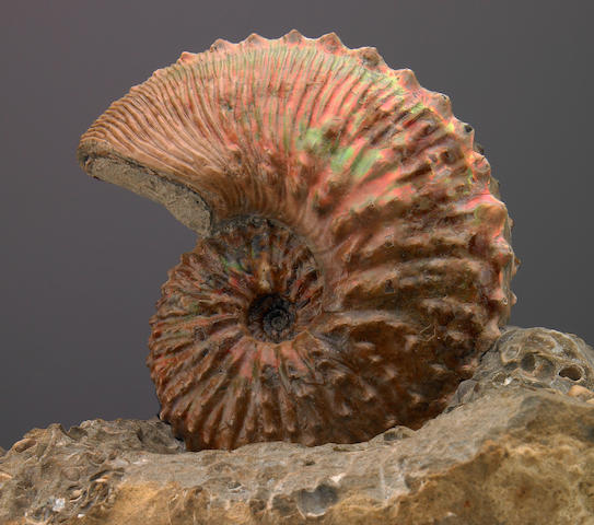 Iridescent Ammonite with Gastropod