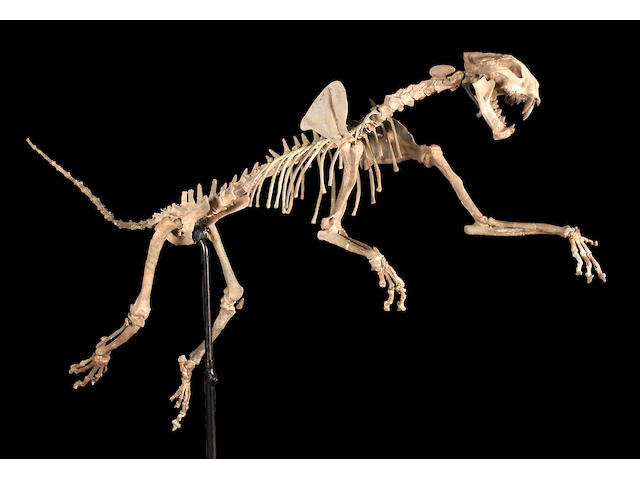 Flying Dinictis cat skeleton