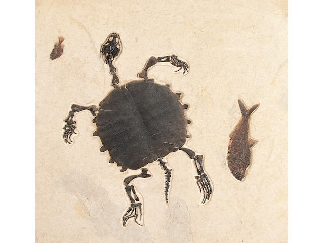 Ancient Fossil Turtle