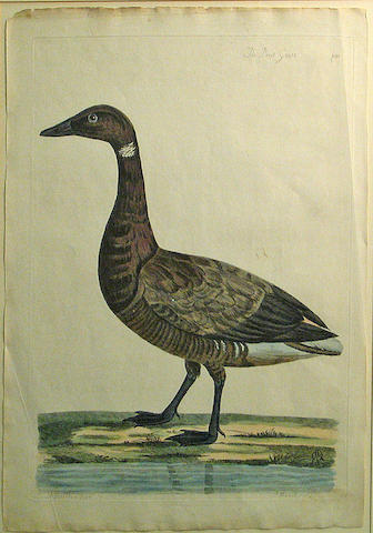 P. Mazell, The Brent Goose, Erching with handcoloring, 25 X 2 X 32;