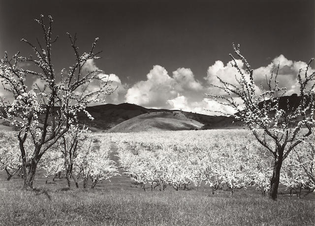 Ansel Adams Orchard, Santa Clara Valley, California;