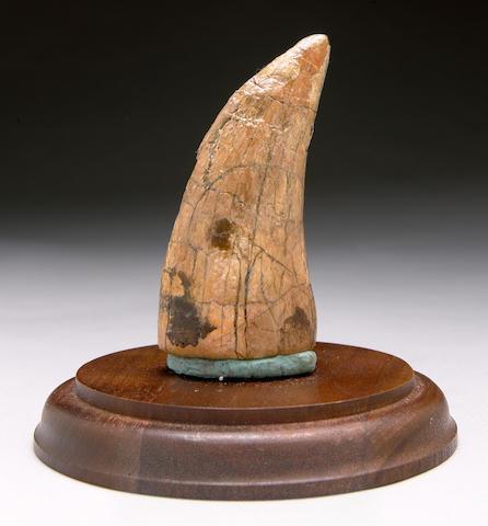 Tyranosaur rex tooth, Glendive, MT.