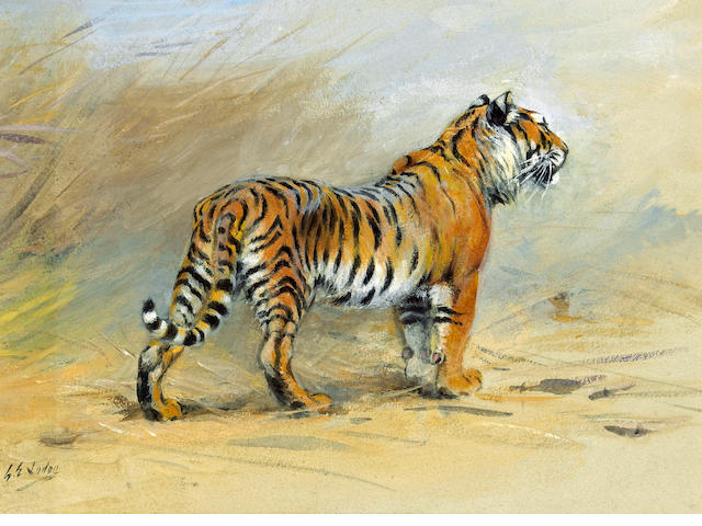 George Edward Lodge (British, 1860-1954) A study of a tiger 8 x 11in (20.3 x 27.9cm)
