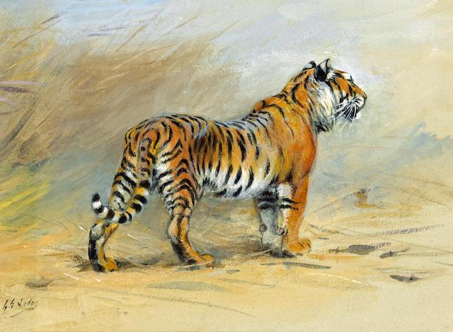 George Edward Lodge (British, 1860-1954) A study of a tiger 8 x 11in (20.3 x 27.9cm)