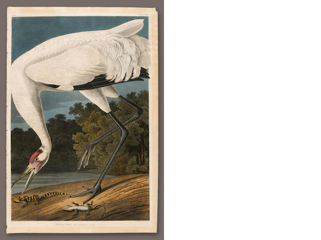 After John James Audubon (American, 1785-1851); Hooping Crane;