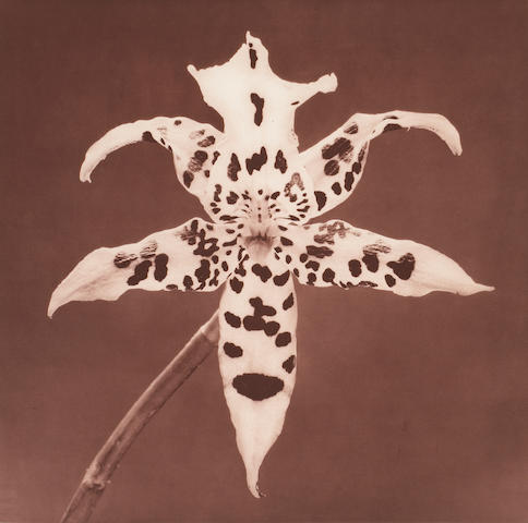 Robert Mapplethorpe (American, 1946-1989); Tiger Orchid, from Flowers Suite;