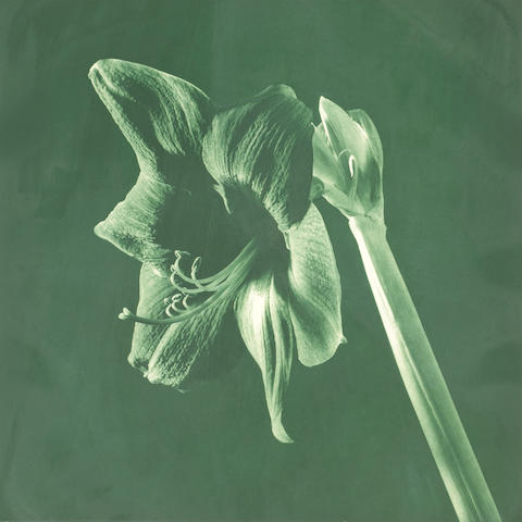 Robert Mapplethorpe (American, 1946-1989); Amaryllis, from Flowers Suite;