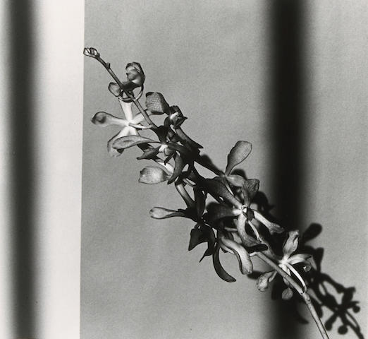 Robert Mapplethorpe (American, 1946-1989); Orchid Branch;