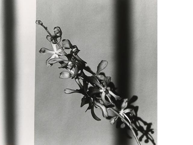 Robert Mapplethorpe (American, 1946-1989); Orchid Branch;