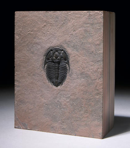 Classic American Trilobite Block