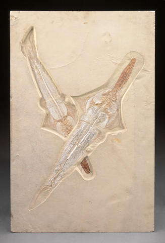 Two Fossil Sawfish