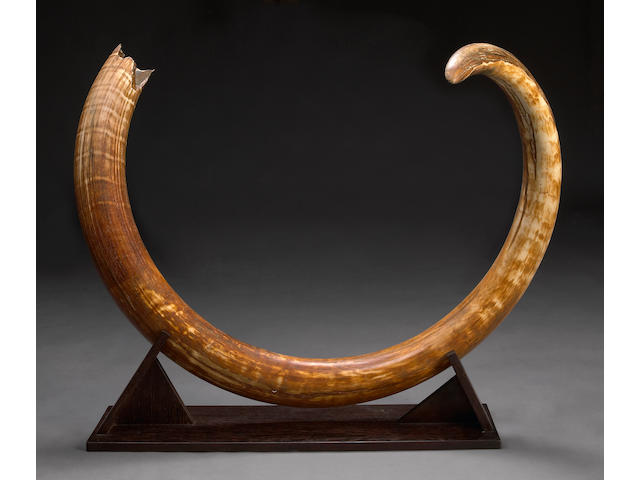 Very Large Woolly Mammoth Tusk