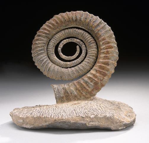 Uncoiled Ammonite
