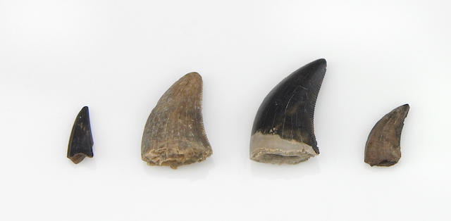 Collection of Four Raptor Teeth