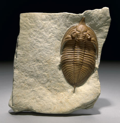 World Class Trilobite