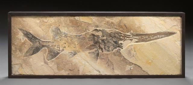 Large Paddlefish Fossil