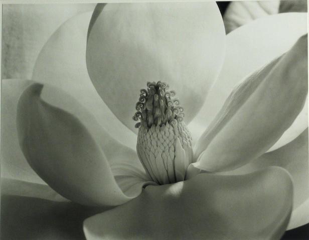Imogen Cunningham (American, 1883-1976); Magnolia Blossom;