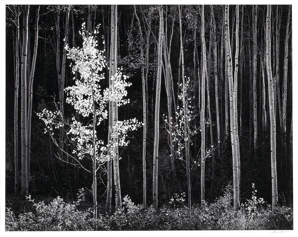 Ansel Adams (American, 1902-1984); Aspens, Northern New Mexico;