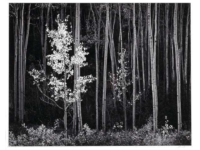 Ansel Adams (American, 1902-1984); Aspens, Northern New Mexico;