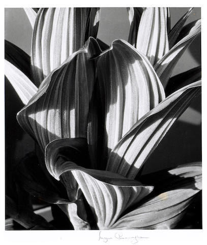 Imogen Cunningham (American, 1883-1976); False Hellebore;
