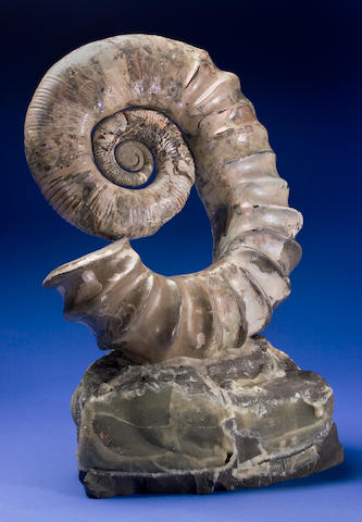 Uncoiled Ammonite
