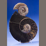 Two Assembled Ammonites