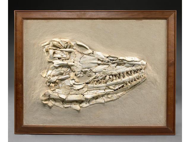 Framed Mosasaur Skull