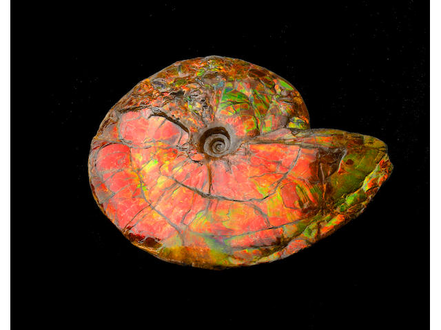 Very Large Iridescent Ammonite