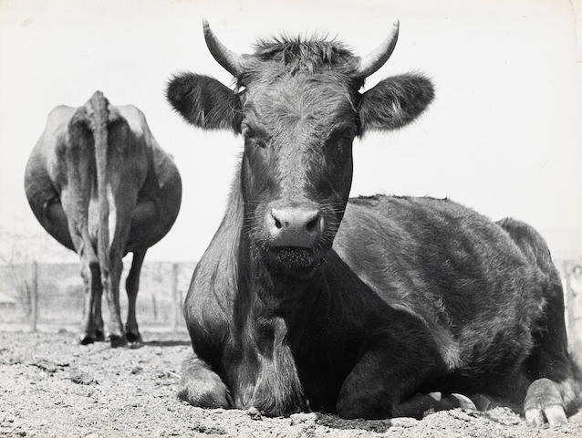 Ruth Bernhard (American, 1905-2006); Two Cows, Mendham, New Jersey;