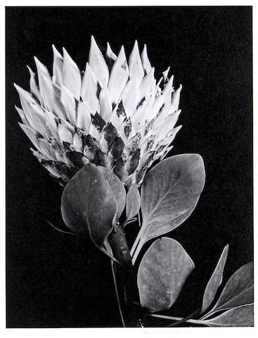 Imogen Cunningham (American, 1883-1976); Protea;