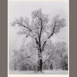 Ansel Adams (American, 1902-1984); Oak Tree - Snowstorm;