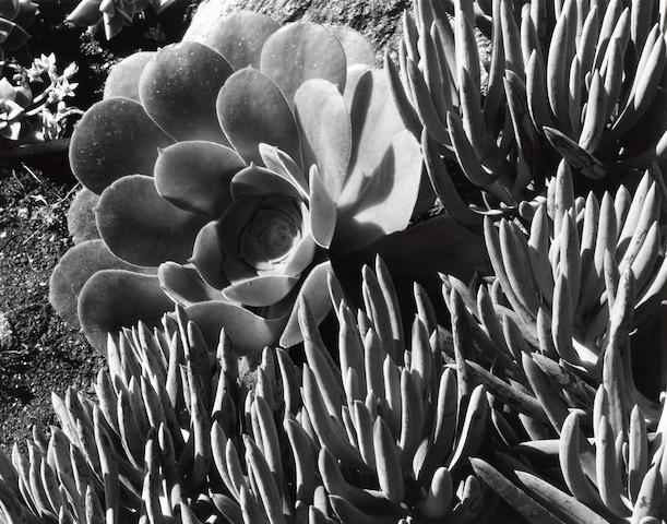 Edward Weston (American, 1886-1958); Succulent;