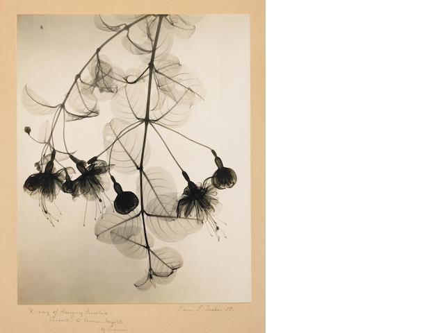 Dr. Dain L. Tasker (American, 1872-1964); X-Ray of Hanging Fuschia;