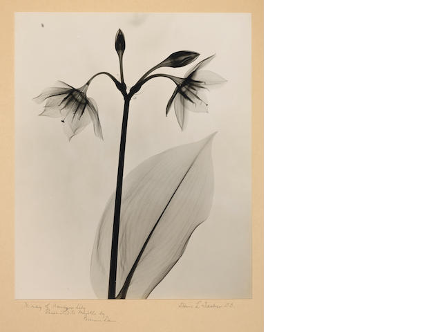 Dr. Dain L. Tasker (American, 1872-1964); X-Ray of Amazon Lily;