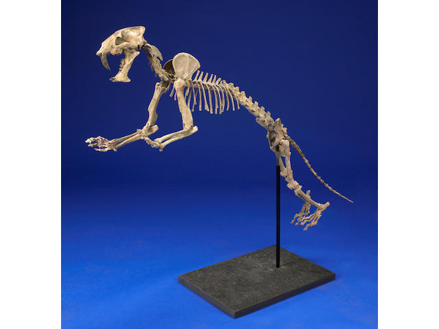 Mounted Fossil Cat Skeleton